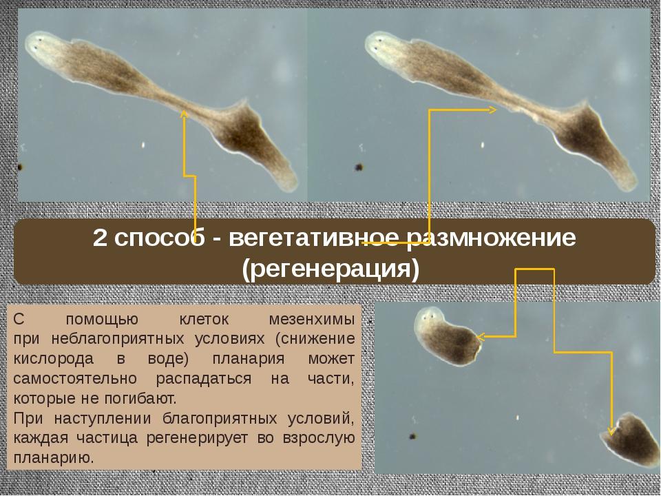С помощью клеток мезенхимы при неблагоприятных условиях (снижение кислорода в...