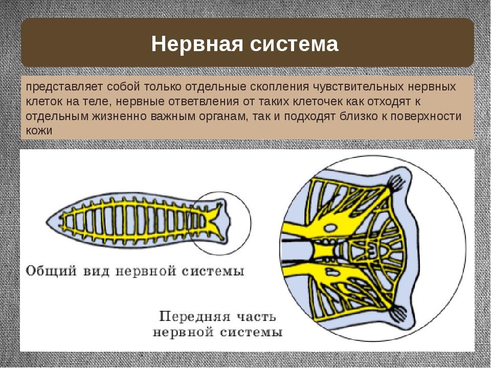 Нервная система представляет собой только отдельные скопления чувствительных...
