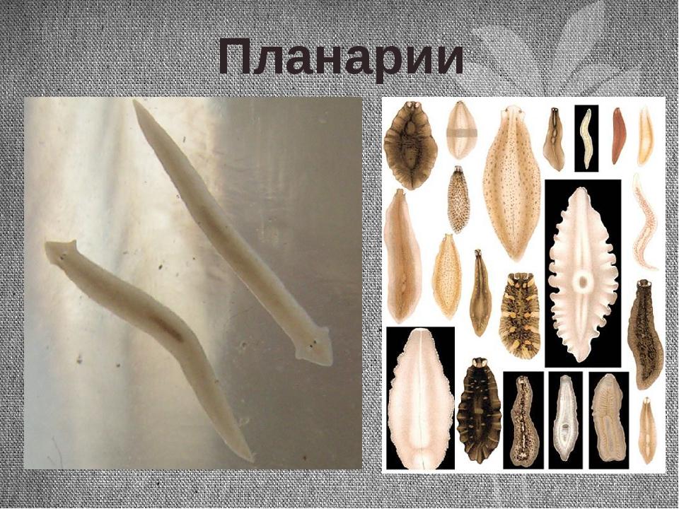 Планарии