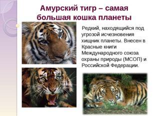Амурский тигр – самая большая кошка планеты Редкий, находящийся под угрозой и