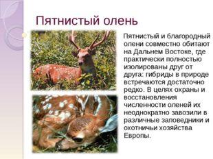 Пятнистый олень Пятнистый и благородный олени совместно обитают на Дальнем Во