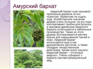 Амурский бархат Амурский бархат ещё называют пробковым деревом за его пористу