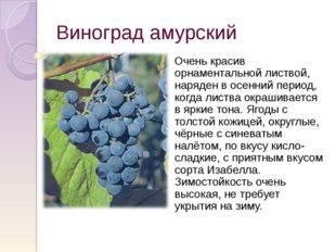 Виноград амурский Очень красив орнаментальной листвой, наряден в осенний пери