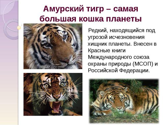 Амурский тигр – самая большая кошка планеты Редкий, находящийся под угрозой и...