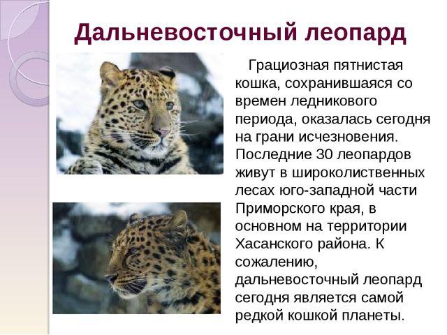 Дальневосточный леопард Грациозная пятнистая кошка, сохранившаяся со времен л...
