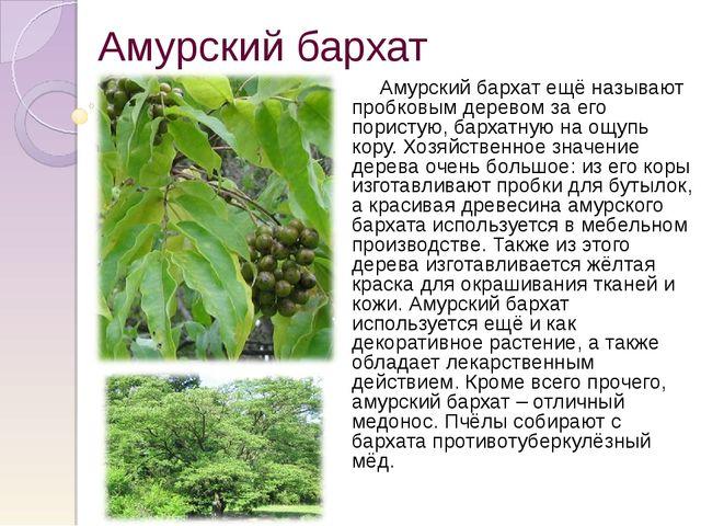 Амурский бархат Амурский бархат ещё называют пробковым деревом за его пористу...