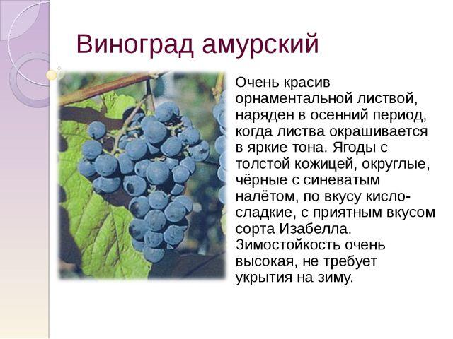 Виноград амурский Очень красив орнаментальной листвой, наряден в осенний пери...