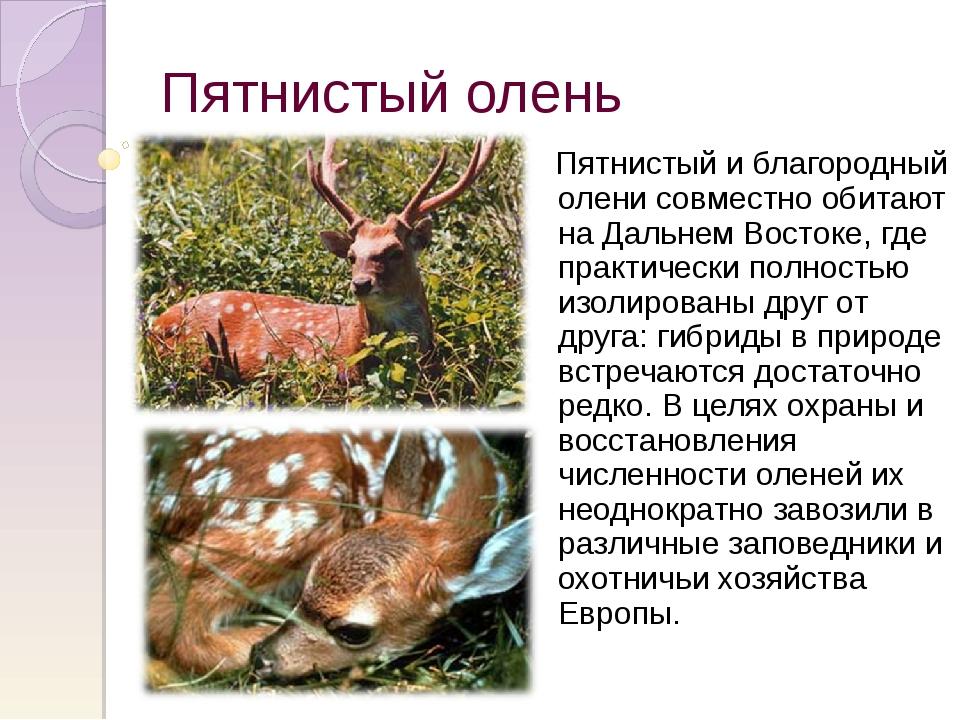 Пятнистый олень Пятнистый и благородный олени совместно обитают на Дальнем Во...