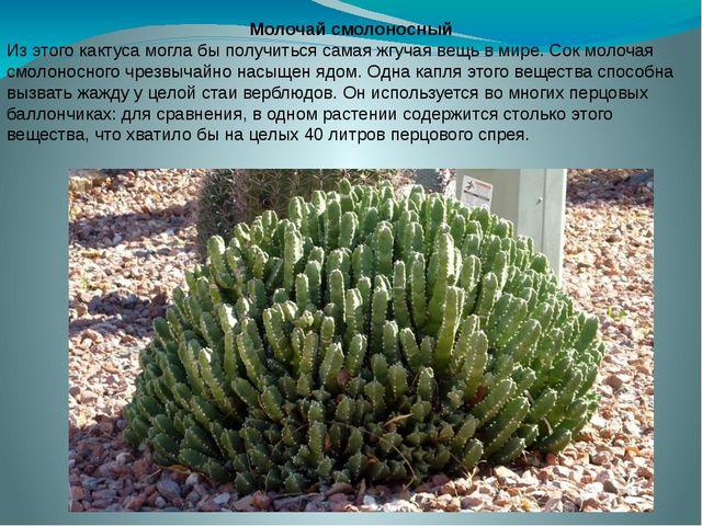 Молочай смолоносный Из этого кактуса могла бы получиться самая жгучая вещь в...