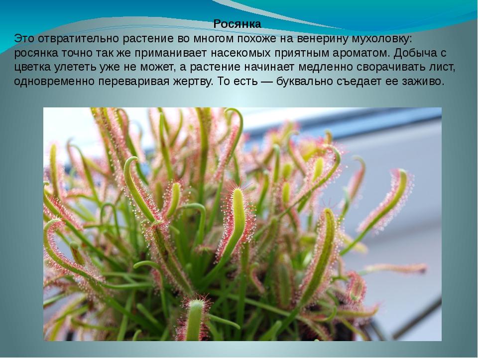 Росянка Это отвратительно растение во многом похоже на венерину мухоловку: ро...