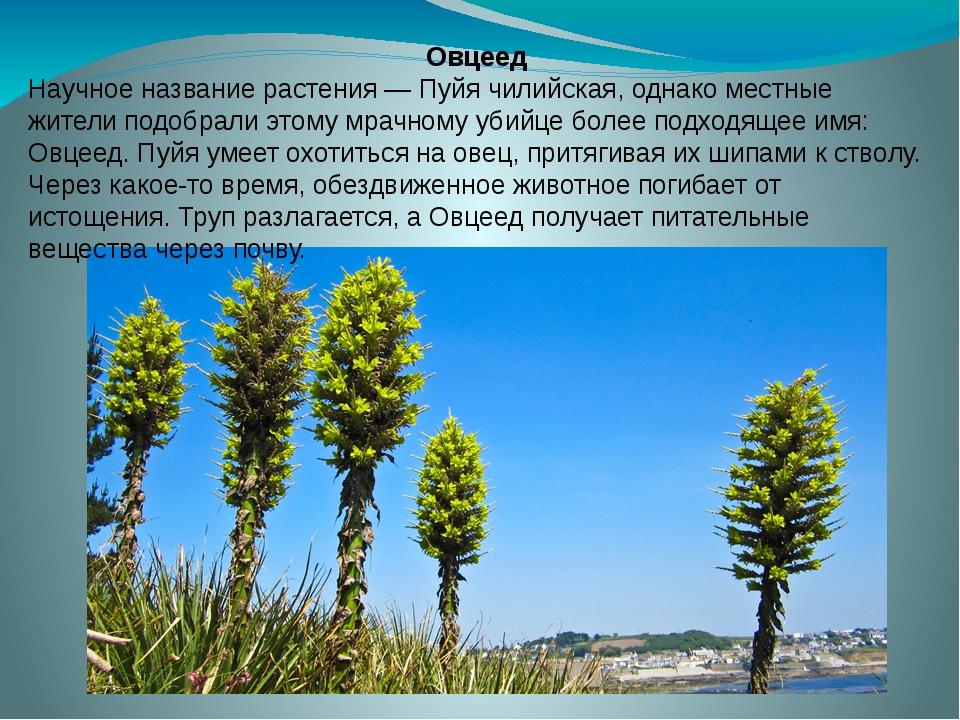 Овцеед Научное название растения — Пуйя чилийская, однако местные жители подо...