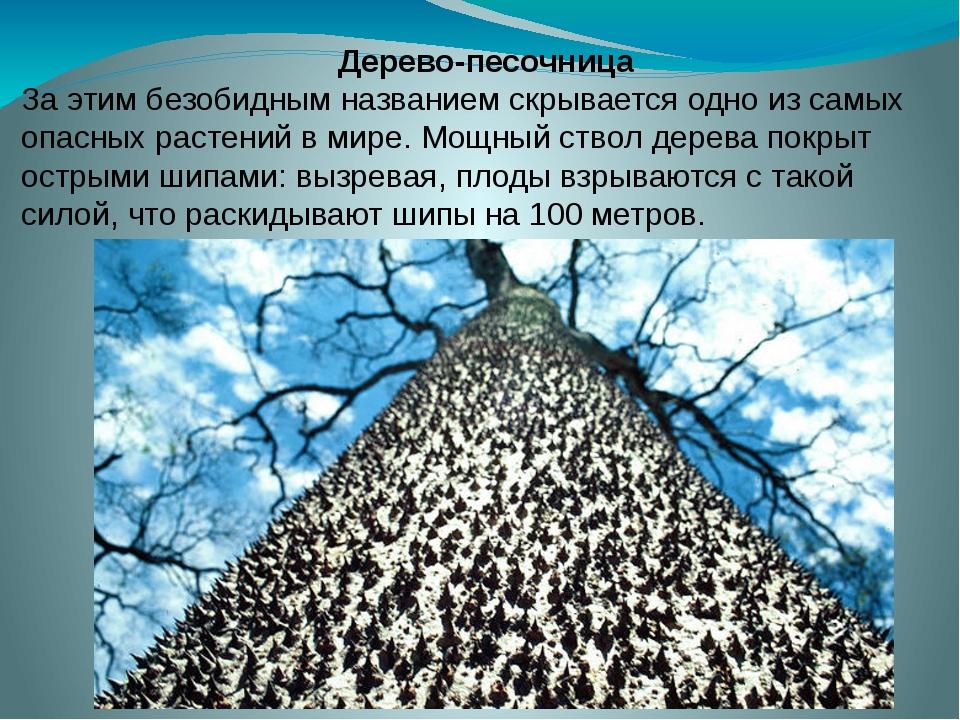 Дерево-песочница За этим безобидным названием скрывается одно из самых опасны...