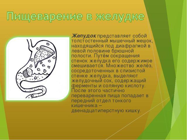 Желудок представляет собой толстостенный мышечный мешок, находящийся под диа...