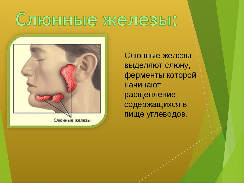 Слюнные железы выделяют слюну, ферменты которой начинают расщепление содержащ...
