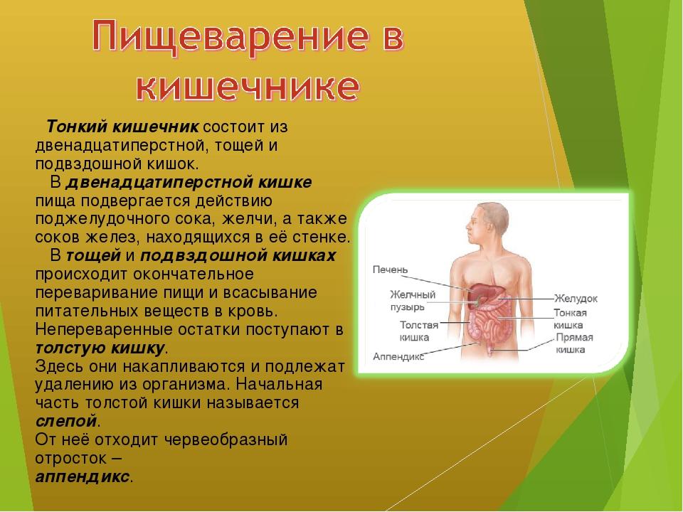 Тонкий кишечник состоит из двенадцатиперстной, тощей и подвздошной кишок. В...