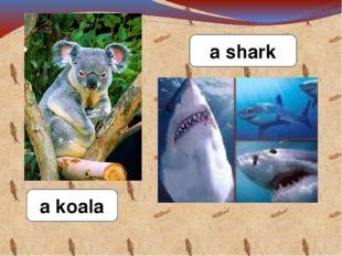 a koala a shark
