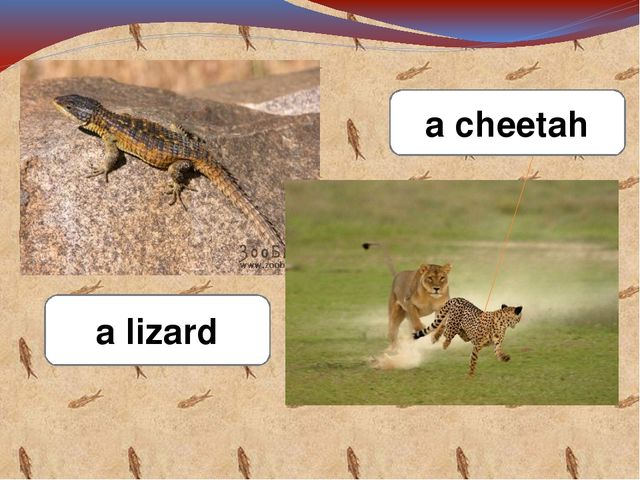 a lizard a cheetah