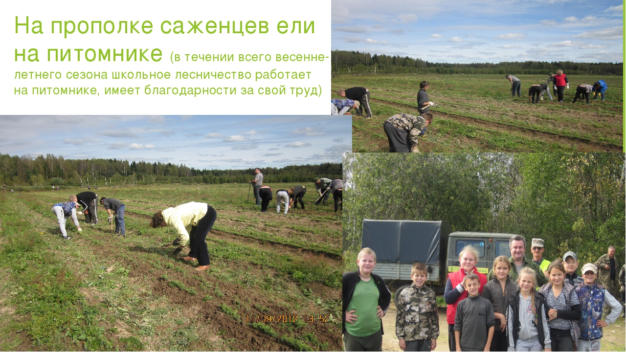 На прополке саженцев ели на питомнике (в течении всего весенне- летнего сезон...