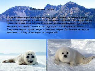 Байкальская нерпа В конце зимы нерпа выходит на лёд. Здесь самки устраивают л
