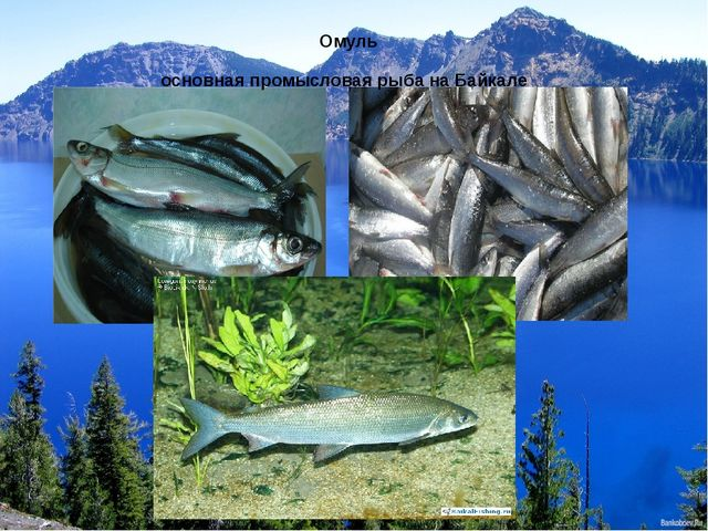 основная промысловая рыба на Байкале Омуль