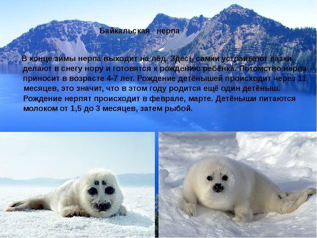Байкальская нерпа В конце зимы нерпа выходит на лёд. Здесь самки устраивают л...
