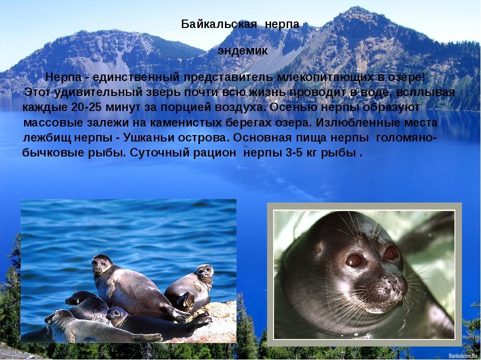 Байкальская нерпа эндемик Нерпа - единственный представитель млекопитающих в...