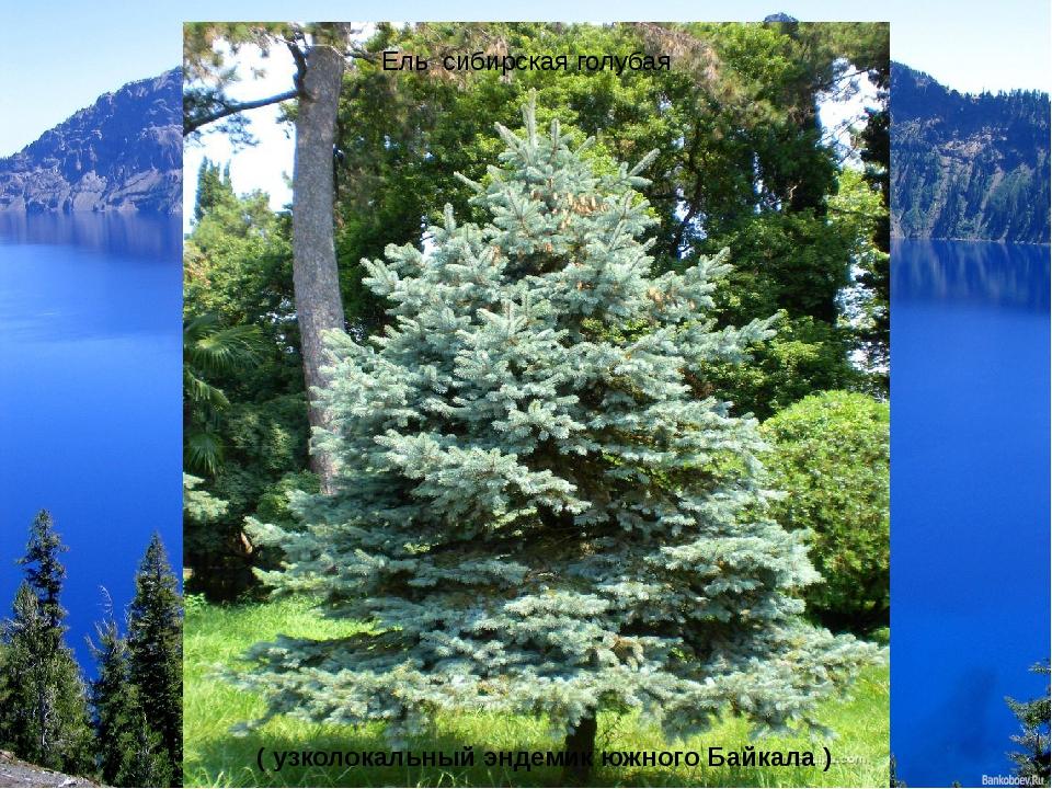 Ель сибирская голубая ( узколокальный эндемик южного Байкала )