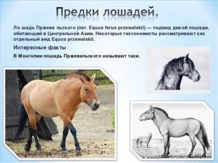 Ло́шадь Пржева́льского (лат. Equus ferus przewalskii) — подвид дикой лошади,