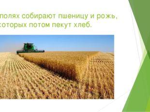На полях собирают пшеницу и рожь, из которых потом пекут хлеб.