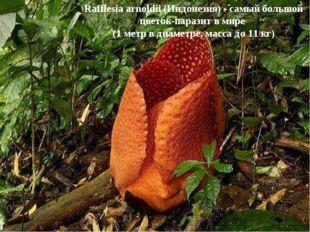Rafflesia arnoldii (Индонезия) - самый большой цветок-паразит в мире (1 метр