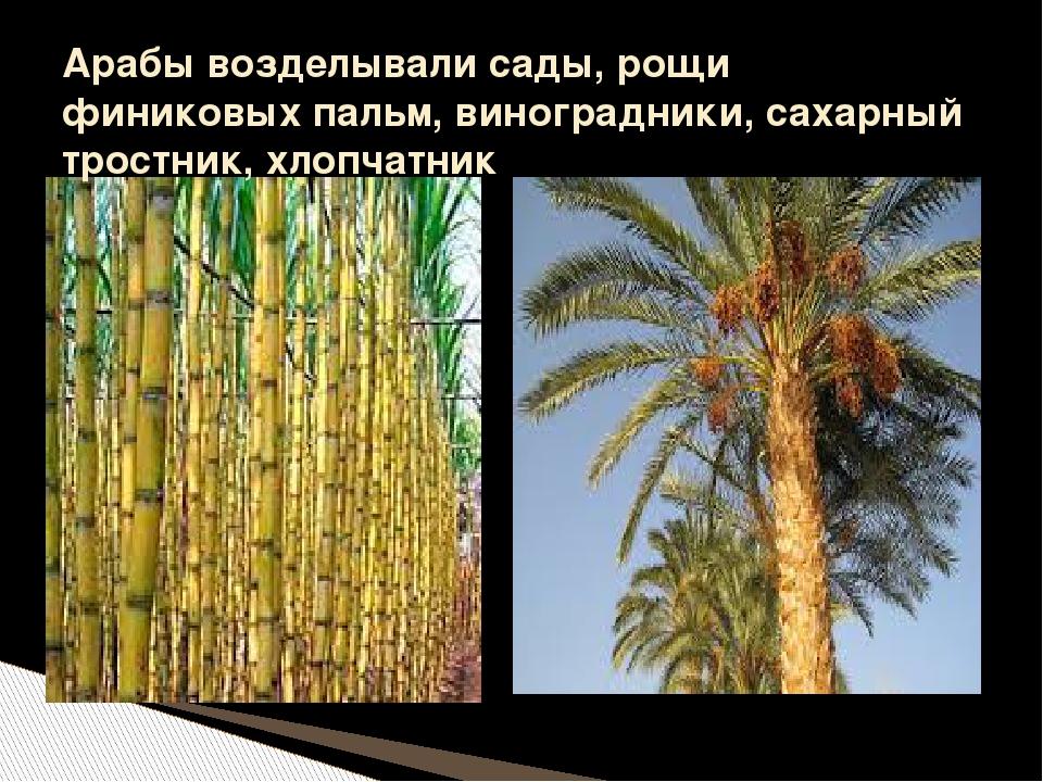 Арабы возделывали сады, рощи финиковых пальм, виноградники, сахарный тростник...