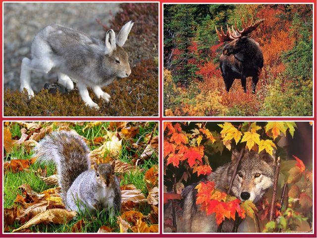 Меняется структура и цвет шерсти. Шерсть у животных становится густой и тёпло...