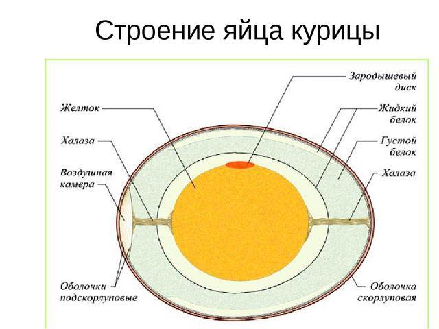Строение яйца курицы