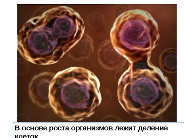 В основе роста организмов лежит деление клеток