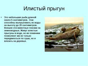 Илистый прыгун Это небольшая рыба длиной около 5 сантиметров. Они способны вы