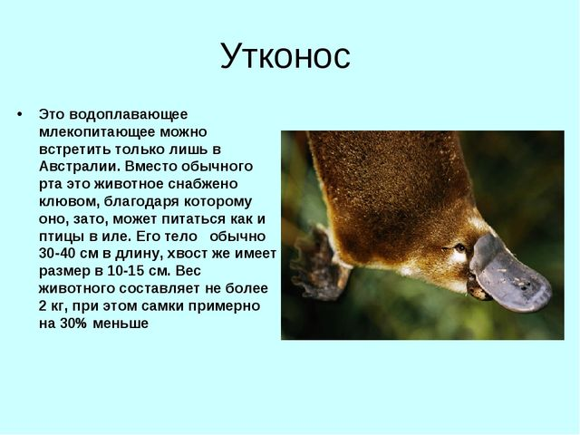 Утконос Это водоплавающее млекопитающее можно встретить только лишь в Австрал...