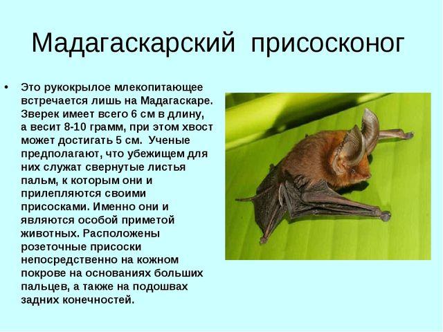 Мадагаскарский присосконог Это рукокрылое млекопитающее встречается лишь на М...