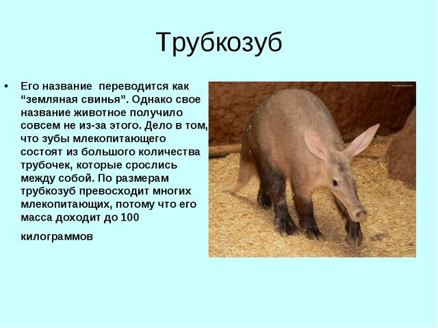 """Трубкозуб Его название переводится как """"земляная свинья"""". Однако свое названи..."""