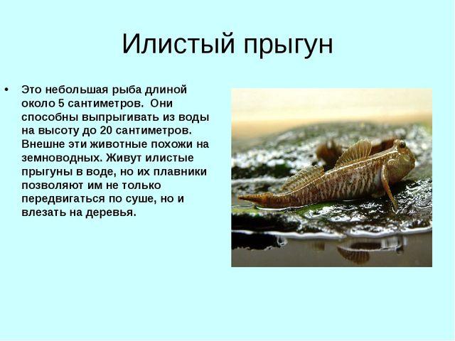 Илистый прыгун Это небольшая рыба длиной около 5 сантиметров. Они способны вы...