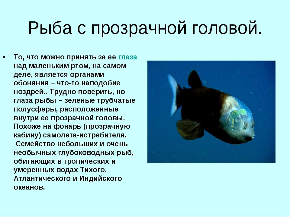 Рыба с прозрачной головой. То, что можно принять за ее глаза над маленьким рт...
