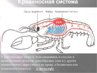 Кровеносная система У ракообразных полость тела смешанная, в сосудах и межкле