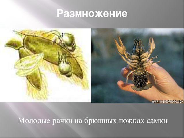 Размножение Молодые рачки на брюшных ножках самки