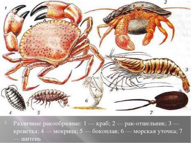 Различные ракообразные: 1 — краб; 2 — рак-отшельник; 3 — креветка; 4 — мокриц...