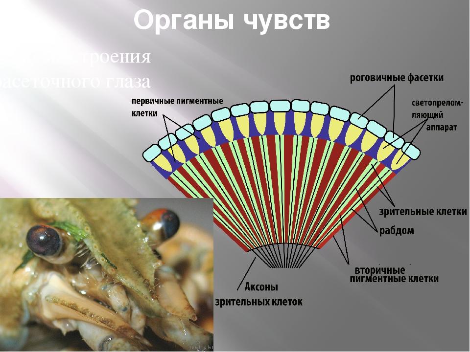 Органы чувств Схема строения фасеточного глаза