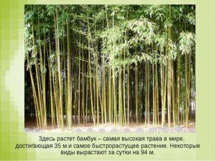 Здесь растет бамбук – самая высокая трава в мире, достигающая 35 м и самое б