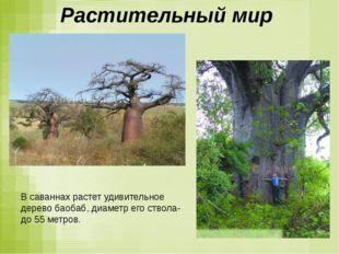 Растительный мир В саваннах растет удивительное дерево баобаб, диаметр его ст