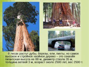 В лесах растут дубы, березы, ели, пихты, но самое высокое и стройное хвойное