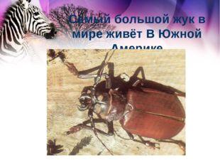 Самый большой жук в мире живёт В Южной Америке
