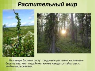 Растительный мир На севере Евразии растут тундровые растения: карликовые бере