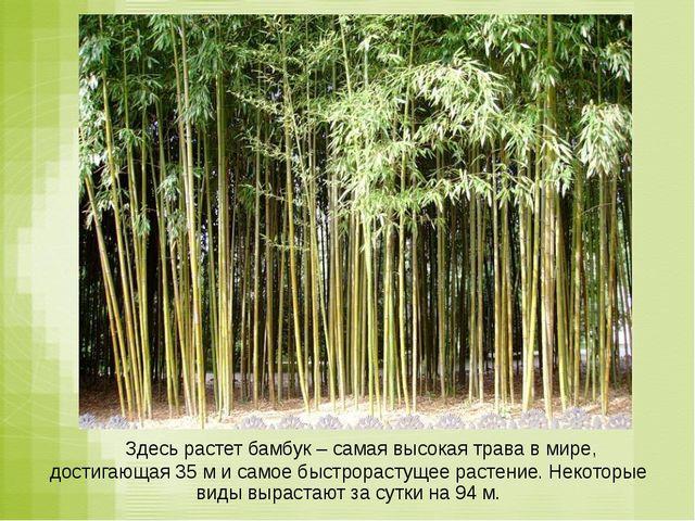 Здесь растет бамбук – самая высокая трава в мире, достигающая 35 м и самое б...